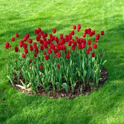 Irena Sendler tulips