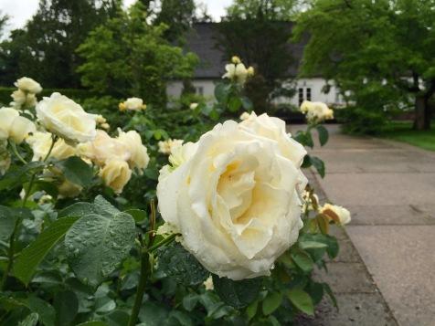 Chopin rose